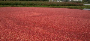 Fresh Cranberries From The Field For Our Cranberry Jelly